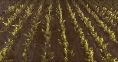 Szőlősor a monori Strázsa hegyen